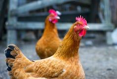 自由放养的鸡漫游一个小农场的围场 免版税库存照片