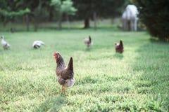 自由放养的鸡 库存照片