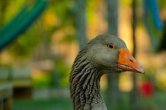 自由放养的鸭子 库存照片