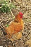 自由母鸡有机范围 库存图片