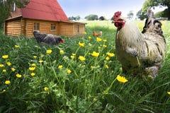 自由母鸡范围雄鸡 免版税库存照片