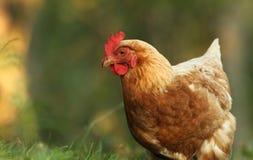 自由母鸡范围 图库摄影