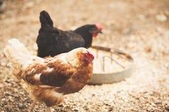 自由母鸡范围 库存照片