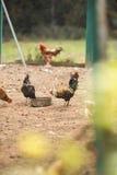 自由母鸡范围 库存图片