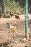 自由母鸡范围 免版税库存图片