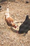 自由母鸡范围 免版税库存照片