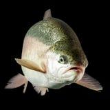 自由浮游的淡水鳟鱼 免版税库存照片