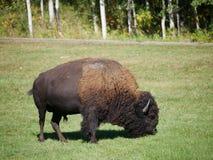 自由漫游在公园的中等大小北美野牛 免版税库存照片