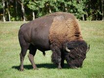 自由漫游在公园的中等大小北美野牛 免版税图库摄影