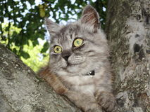 自由照片动物灰色猫Persifona例证JPG 免版税库存图片