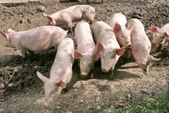 自由猪范围 免版税库存照片