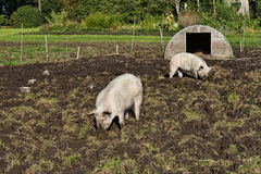 自由猪范围 免版税库存图片