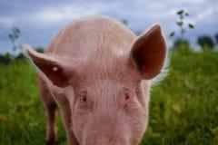 自由猪 免版税库存图片