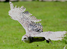 自由猫头鹰白色 免版税库存照片