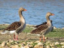 自由珍贵的鸭子在对它宽的居住的生活中 免版税库存照片