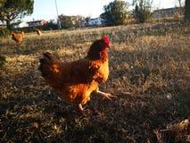 自由的鸡在庭院里走 免版税库存照片