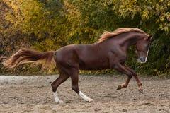 自由秋天的美丽的红色马 免版税库存照片