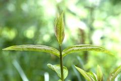 自由绿色叶子 免版税库存图片