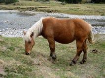 自由马在高山牧场地有cauterets高比利牛斯 库存照片