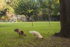 自由鸡在庭院里 免版税库存图片