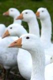 自由鹅范围 免版税图库摄影
