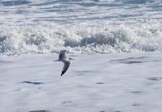 自由!唯一海鸥飞行 免版税库存图片