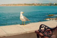 自立在海滩的海鸥在日落 关闭走由海滩的观点的白色鸟海鸥反对 免版税库存图片