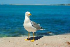 自立在海滩的海鸥在日落 关闭走由海滩的观点的白色鸟海鸥反对 图库摄影