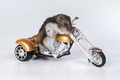 自行车仓鼠骑马 免版税库存图片