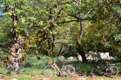 自行车和悬铃树 免版税库存照片