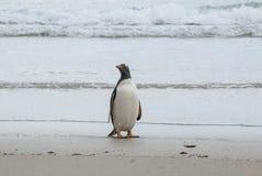 自豪地的福克兰群岛-是Gentoo企鹅 免版税库存图片