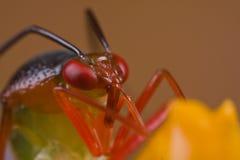 臭虫五颜六色的mirid橙色工厂wildflowe 库存图片