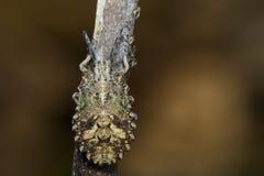 臭虫半翅类的图象在干燥分支的 昆虫 敌意 免版税库存图片
