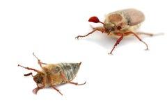 臭虫可以 免版税库存图片