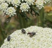 臭虫和飞行在一朵花在自然晴朗的背景中 免版税库存照片
