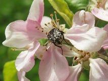 臭虫和Blum树花 库存图片