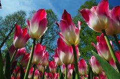 臭虫在keukenhof庭院里注视观点的桃红色和白色郁金香以蓝天对比 免版税库存图片