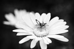 臭虫特写镜头在花的 库存图片