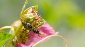 臭虫瓢虫叶子生活 免版税库存图片