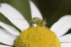 臭虫的画象,在母菊花的昆虫 库存图片