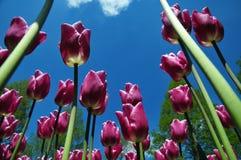 臭虫眼睛观点的郁金香在keukenhof庭院里以蓝天对比 免版税库存图片
