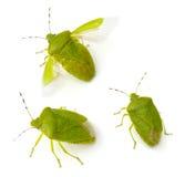 臭虫绿色恶臭 库存图片