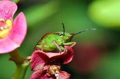 臭虫绿色盾 免版税图库摄影