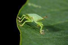 臭虫绿色盾 库存照片