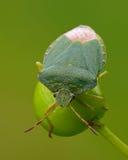 臭虫绿色盾 免版税库存照片