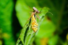 臭虫被捉住的蚂蚱 库存图片