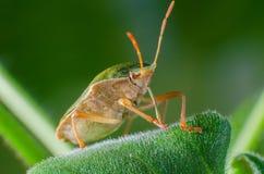 臭虫绿色palomena prasina盾 免版税库存照片