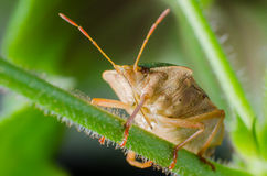 臭虫绿色palomena prasina盾 免版税库存图片