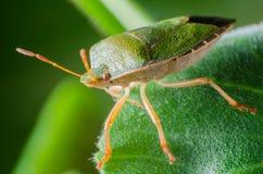 臭虫绿色palomena prasina盾 免版税图库摄影