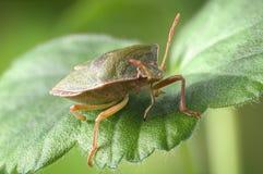 臭虫绿色palomena prasina盾 库存照片